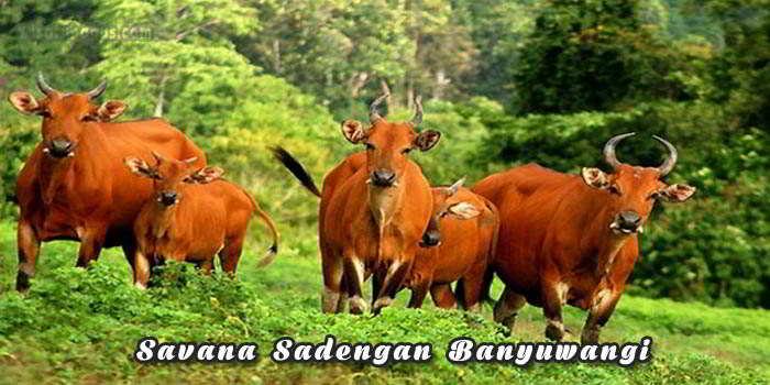 Tempat wisata Savana Sadengan Banyuwangi