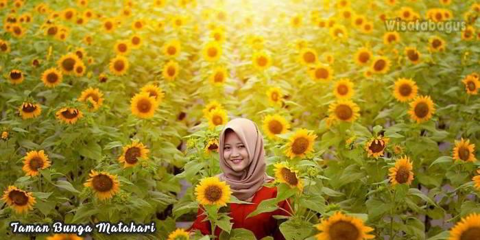 Wisata-Magelang-Kebun-Bunga-Matahari-Dewari
