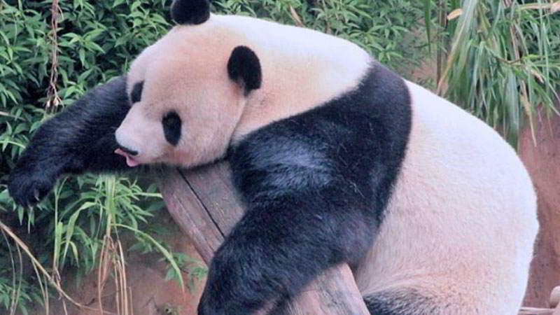 taman-safari-bogor-panda