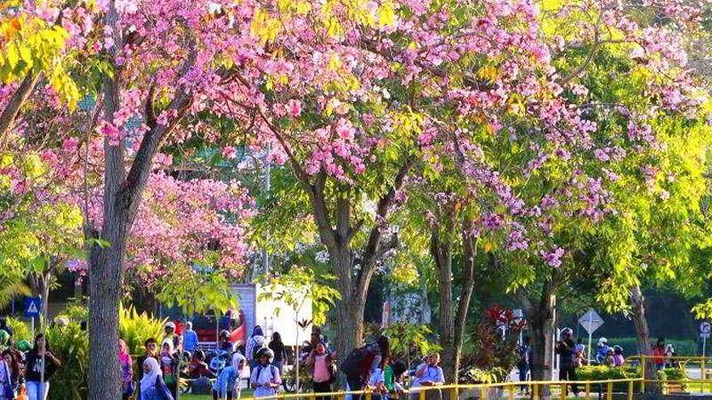kebun-raya-cibodas-sakura
